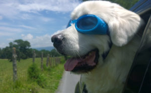 a Pyrenees dog wearing goggles sticking his head out opf the car window.